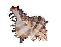 Isolated shellfish with brown strips Royalty Free Stock Photo