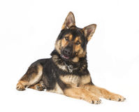 Isolated Shepherd Dog Royalty Free Stock Photography
