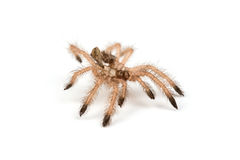 Isolated shoot of brown spider`s moult Stock Image
