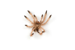 Isolated shoot of spider`s moult Royalty Free Stock Image