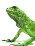 Isolated shot of Green Iguana's head. Isolated photo of Green Iguana on white background Royalty Free Stock Photos