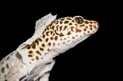 Isolated Shot of Leopard Gecko Shedding Skin. Isolated Close Up Shot of Leopard Gecko Shedding Skin royalty free stock photo