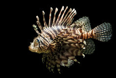Isolated shot of a Lion fish. An isolated shot of the very beautiful and venomous Lion fish, Pterois volitans Royalty Free Stock Image