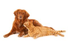 Free Isolated Shot Of Ginger Cat Looking At Retriever Dog Looking At The Camera On White Background Stock Photography - 188461962