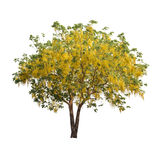 Isolated shower tree on white background. Isolated tree with yellow flower on white background easy to di-cut and good for graphic design Stock Photography