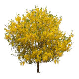 Isolated shower tree with yellow flowers on white background Stock Images