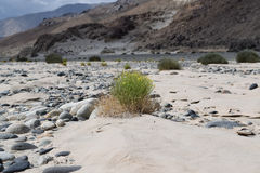 An isolated shrub on river bank between sand and stones. Ladakh is high cold desert where vegetation can be seen only river bed Royalty Free Stock Photography