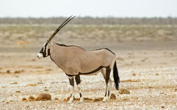 Isolated side profile of a Gemsbok oryx Royalty Free Stock Photos
