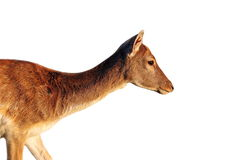 Isolated side view of a deer doe Royalty Free Stock Photography