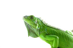 Isolated side view of a Green Iguana Stock Photography