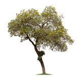 Isolated Silver trumpet tree or Yellow Tabebuia on white background Royalty Free Stock Photography