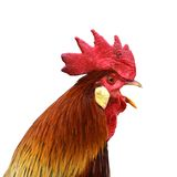 Isolated singing rooster Royalty Free Stock Photos