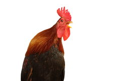 Isolated singing rooster Royalty Free Stock Photo