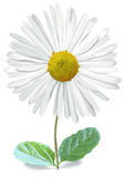 Isolated Single Bellis with Clipping Path Royalty Free Stock Photo