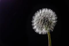 Isolated single dandelion head on black background Stock Photo