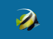 Isolated single exotic fish - butterflyfish on blue background. Isolated single exotic fish - bannerfish on blue background Stock Photography