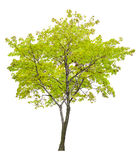 Isolated single green maple tree Stock Images