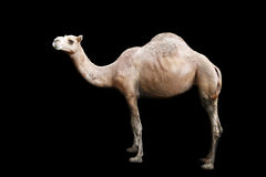Isolated single hump camel Stock Image