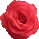 Isolated single red rose bloom Stock Photo