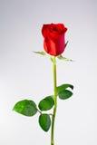 Isolated single rose Royalty Free Stock Image