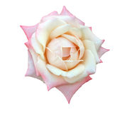 Isolated Single  Rose Royalty Free Stock Photography