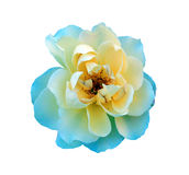 Isolated Single  Rose Royalty Free Stock Images