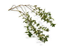 Isolated Single Sprig of Fresh Garden Thyme Stock Photography