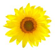 Isolated Single Sunflower On White Royalty Free Stock Photography