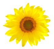 Isolated Single Sunflower On White Royalty Free Stock Photography