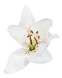 Isolated single white lily bloom. Lily flower isolated on white background Royalty Free Stock Photo