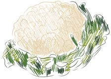 Isolated sketch of cauliflower Stock Photos
