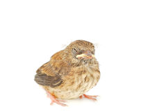 Isolated sleepy baby sparrow. A photo of a baby little sparrow sad, sick or sleepy  isolated on the white Stock Photography