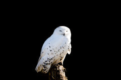 Isolated Sleepy Snowy Owl On A Branch Royalty Free Stock Photo