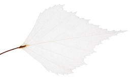 Isolated small leaf skeleton Royalty Free Stock Photo