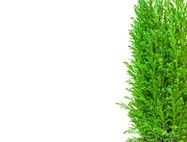 Isolated small natural fir with white background royalty free stock images