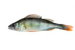 Isolated small perch Royalty Free Stock Photos