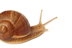 Isolated snail Royalty Free Stock Photography
