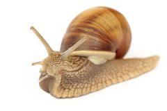Isolated snail Stock Photos