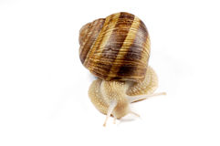 Isolated snail Royalty Free Stock Photos