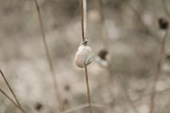 Isolated snail on the plant. Marche, Italy, Europe royalty free stock photos