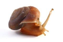 Snail royalty free stock photography