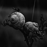 Isolated Snails Royalty Free Stock Photography