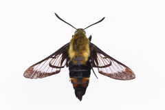 Isolated Snowberry Clearwing Moth. On a white background Stock Photo