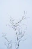 Isolated snowy tree branches Royalty Free Stock Image