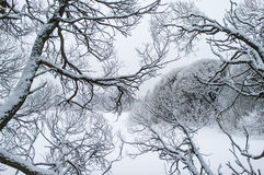 Isolated snowy tree branches royalty free stock photo