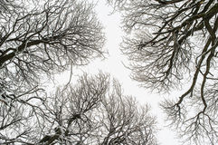 Isolated snowy tree branches. Isolated thin snowy tree branches and trunks against the sky in winter Royalty Free Stock Image