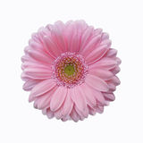 Isolated soft pink gerbera daisy flower Royalty Free Stock Images