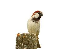 Isolated sparrow. Male sparrow isolated over white background ( Passer domesticus royalty free stock images