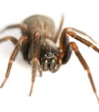 Isolated Spider. Wolf Spider isolated on white with reflection Stock Photo
