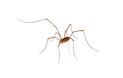 Isolated spider with long legs Royalty Free Stock Photo